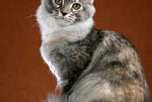The Beautiful Maine Coon / by ☮Amy <3