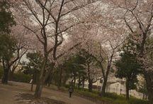 Sakura / Peaceful even windy