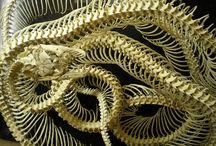 Anatomia Węży / Snakes Anatomy