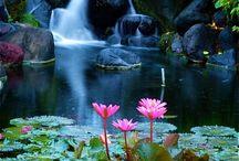 Magnifiques lotus et nénuphars