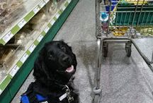 Assistance Dog Boris / Boris is my RECOVERY Assistance Dog, he helps me with things I struggle with every day due to my Arthritis, OCD, Panic Attacks and Social Phobia.