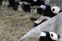 Panda♥
