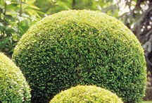 GARDEN - BUXUS, BOX TOPIARY / All thing topiary