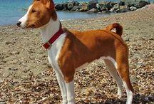 Raça de cães ! Este é o Basenji originário do Gongo