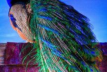 Peacocks / Amazing #Peacock Shots