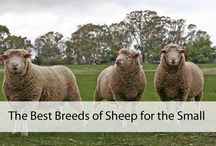 Sheep Breeds for small Farms