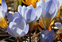 Bulbes à floraison printanière / Égayez votre jardin grâce aux bulbes à floraison printanière ! Tulipes, narcisses, crocus, jacinthes ou amaryllis apporteront à votre jardin une palette de couleurs incroyables pour le plaisir des yeux.