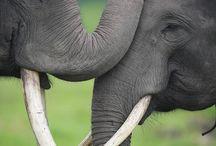 Elephants / I love elephants