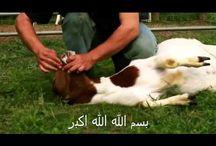 """معجزة فوق الخيال """" سبحان الله """" رد فعل الخروف بعد ذكر اسم الله عليه عند الدبح"""