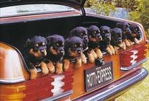 De søde små.... hunde