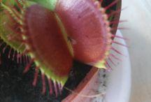 moja muchołówka / tablica o mojej potwornej roślince