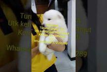 Von Javelline Kennel jual anjing Samoyed turunan Impor USA
