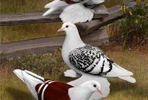 güvercin tutkunu