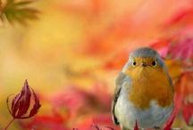 Roodborstje - Robin & co