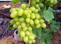 Виноград / Выращивание, обрезка винограда