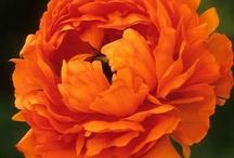 Ranunculáceae / Flowers: ranunculus, anemones, pulsatilla, nigella, delphinium, globe-flower...