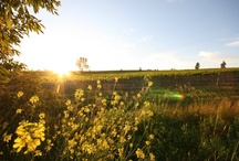 The Taylors Clare Valley Vineyard