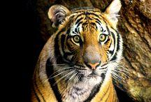 Wilde animals (basically tigers)