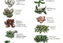 Plants - Succulents / Images of the wonderful array of succulents there are