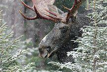 Nature - deer, roe deer, moose...., zebra, antelope...