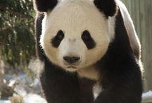 sophs panda