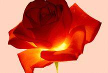Rózsák Birodalma