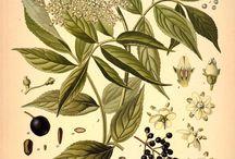 Sambusus nigra