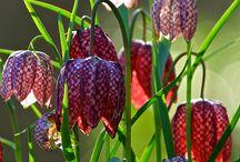 Kievitsbloemen - Checkered Lilly