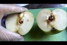 Como plantar maçã  em vaso.