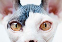 スフィンクス猫