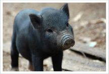Pig - It! / Pigs are adorable. / by Tracy King
