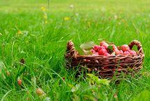 Jesień w sadzie - rajskie jabłuszka | Siedlisko na wygonie / W sadzie jesień w pełni. No to zabieramy się do pracy i kto wie, może już na wiosnę zaprosimy na degustację naleweczki z rajskich jabłuszek na miodzie z rumem i pomarańczą :)