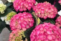 Hydrangeas fabulous blooms! / Great plants in the shop - amazing colours.