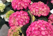 Hydrangeas fabulous blooms! / Great plants in the shop - amazing colours.
