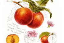 Meyve (fruits)