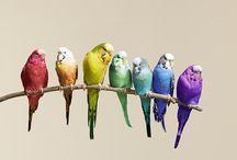 Parkieten & Papegaaien [Lovebirds] / Het verschil tussen een papegaai en een parkiet heeft niets te maken met de grootte van het dier. Het verschil is te zien aan de staart. Papegaaien hebben een korte brede staart in de vorm van een waaier. Parkieten hebben lange trapsgewijze staart. Over het algemeen hebben parkieten een slankere bouw dan papegaaien. Een Ara is dus eigenlijk helemaal geen papegaai maar een parkiet. Papegaaien en parkieten vallen allebei onder de kromsnavels.