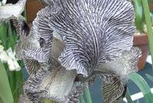 top iris