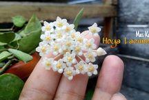 Hoya Lacunosa Blooom