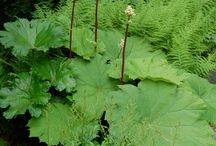 Big leaf plants- for zones 4 & 5