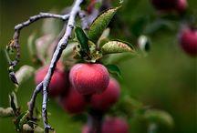 Apples / by Bluebird CSA.com