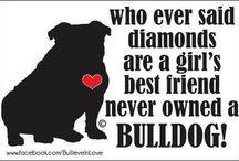 engelse bulldog / Teddy en andere engelse bulldogen