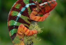 ~ Chameleons ~