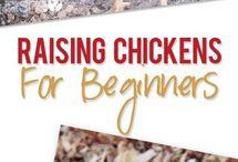 Élevage de poulets