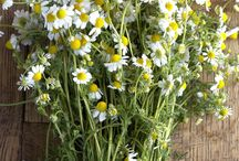 Chamomile / by Herb Society of America