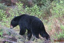 Black Bear and Moose