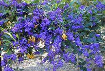 Augusta plant species