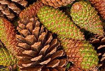 pine cone / pine cone
