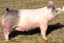 Bred Gilts/Sows