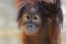 Orangutánci:-)