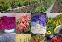 summertime at Le Mera Gardens / postcard from our flower fields